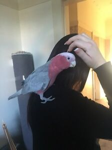1 yr TAME galah - large cage - bird stand Earlwood Canterbury Area Preview