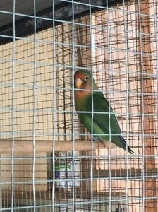 Love Birds Port Pirie Port Pirie City Preview