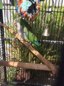 5yo Quaker parrot Salisbury North Salisbury Area Preview