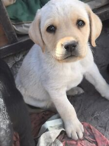 8 week old male lab pup Primrose Sands Sorell Area Preview