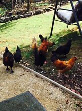 BULK CHICKENS New Norfolk Derwent Valley Preview