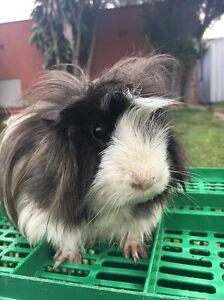 Long haired guinea pig Manly Manly Area Preview