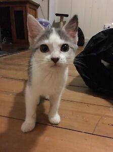 Kitten for Sale Mitchelton Brisbane North West Preview