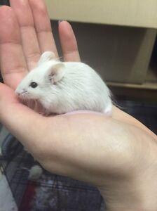 Two Fancy Male Mice Belrose Warringah Area Preview