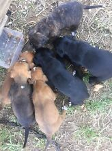 STAFFY X pups Gympie Gympie Area Preview