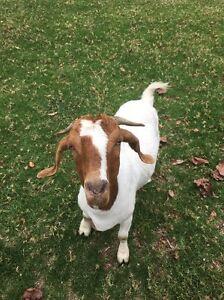 Nanny Boer Goat Albion Park Shellharbour Area Preview