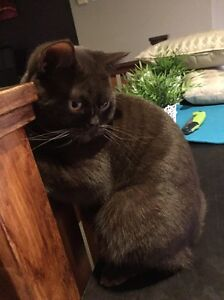 British Shorthair Female Cat Rochedale Brisbane South East Preview
