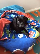 Pug X dog needs to be rehomed Karrinyup Stirling Area Preview