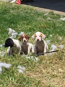ENGLISH POINTER PUPS Strathmore Heights Moonee Valley Preview