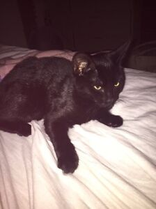 Lost kitty named Cynder!! Tuggerawong Wyong Area Preview