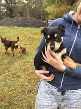 Kelpie cross Border Collie puppies Bungendore Queanbeyan Area Preview