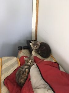 Free Kittens - MUST go to loving home Windsor Brisbane North East Preview