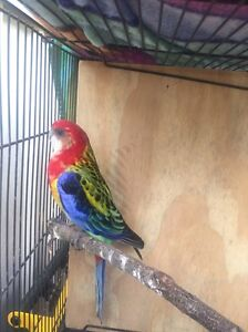 Rosella Golden Mantle Male Medowie Port Stephens Area Preview