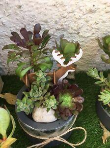 Succulent pot plant Strathfield Strathfield Area Preview
