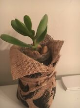 Potted succulents perfect for a gift or the home just $5 each Rosemeadow Campbelltown Area Preview