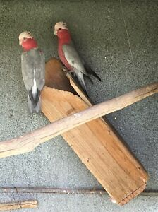 100% pair of galahs Emu Plains Penrith Area Preview