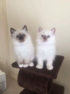 Birman kittens Heathcote Bendigo Surrounds Preview