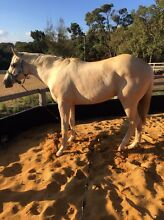 SOLD Palomino quarter horse Byford Serpentine Area Preview