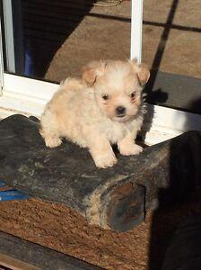 Maltese shitzu puppies Oatlands Southern Midlands Preview