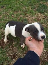 Blue English staffy Melton South Melton Area Preview