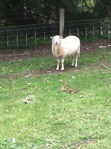 Wiltipoll ewes Ashton Adelaide Hills Preview