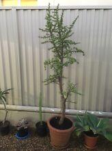 Dwarf jade plant (Portulacaria afra) over 2 meters tall Penshurst Hurstville Area Preview