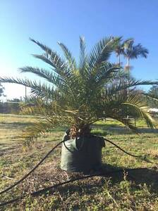 CANARY ISLAND DATE PALMS 150ltr Greenbank Logan Area Preview