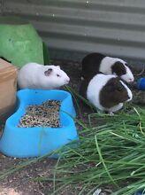 Trio of breeding Guinea Pigs  2F & 1M Australind Harvey Area Preview