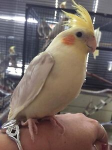 Hand Raised Cockatiels Manly West Brisbane South East Preview