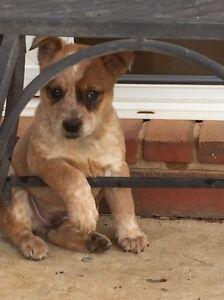 Heeler puppies for sale Shepparton Shepparton City Preview