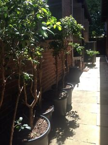 8 healthy Lilly pilly trees Adamstown Newcastle Area Preview