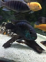 1 SILVER DOLLAR 2 LARGE CICHLIDS $120 Birrong Bankstown Area Preview