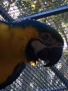 Pair Blue and Gold Macaw male and female in same Avery Kenthurst The Hills District Preview