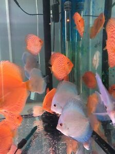 JULY NEW shipment arrived 5 to 11cm  CHEN discus fish from $30 Como South Perth Area Preview