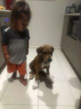 8 month old Great Dane x Band dog Yeppoon Yeppoon Area Preview