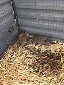 Baby Rabbits Pinjarra Murray Area Preview