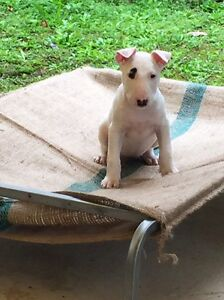 1 left !!!!!English bull terrier pup forsale Karalee Ipswich City Preview