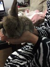 Mini lop rabbit Brunswick Moreland Area Preview