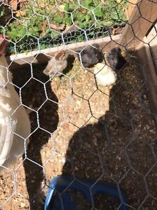 Chinese silky bantams chicks for sale East Maitland Maitland Area Preview