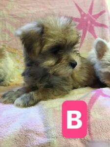 Maltese Yorkshire Terrier Puppies