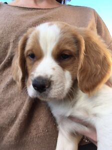Pure bred Brittany spaniel puppies Mornington Mornington Peninsula Preview