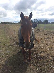 Confident Beginners horse Sale Wellington Area Preview
