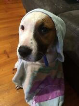 Rescue puppy - all vet work done Whittlesea Whittlesea Area Preview
