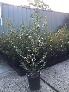 Buxus Hedge Plants Hornsby Hornsby Area Preview