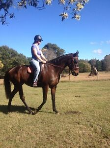 6 year old thoroughbred Burpengary Caboolture Area Preview