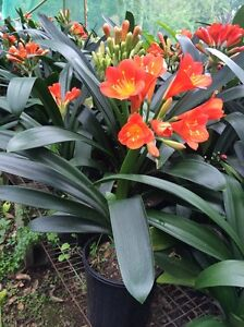 Clivias for sale Arcadia Hornsby Area Preview