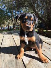 NZ huntaway pups Camden Camden Area Preview