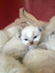 PEDIGREE RAGDOLL KITTENS - BLUE POINT, SEAL POINT CHOCOLATE POINT Pleasure Point Liverpool Area Preview