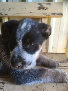 Blue Heeler Puppy Edithburgh Yorke Peninsula Preview