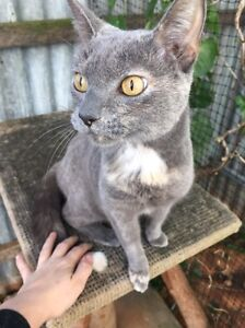 Bella female blue torti with white tail tip Elizabeth North Playford Area Preview